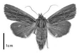Black and white notch moth