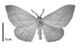 Black and white window moth